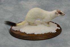 Ermine Stoat Taxidermy Mount