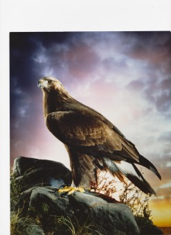 Golden Eagle Taxidermy by Mike Gadd