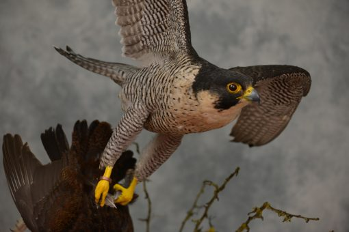 Taxidermy Peregrine Falcon falco peregrinus catching Grouse 22