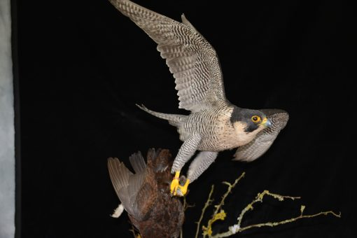 Taxidermy Peregrine Falcon falco peregrinus catching Grouse 23