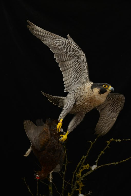 Taxidermy Peregrine Falcon falco peregrinus catching Grouse 3
