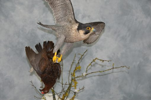 Taxidermy Peregrine Falcon falco peregrinus catching Grouse 17