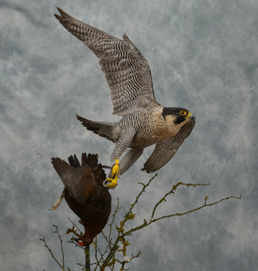 Taxidermy Peregrine Falcon falco peregrinus catching Grouse 19
