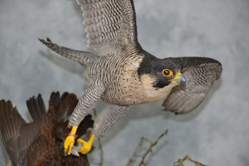 Taxidermy Peregrine Falcon falco peregrinus catching Grouse 20
