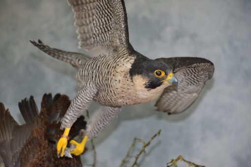 Taxidermy Peregrine Falcon falco peregrinus catching Grouse 21