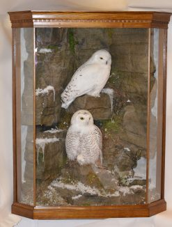 Taxidermy Snowy Owl (Bubo scandiacus)