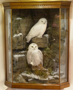 Taxidermy Snowy Owl (Bubo scandiacus) in case