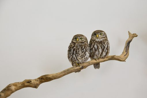 taxidermy Little Owls (Athene noctua) sitting together 3