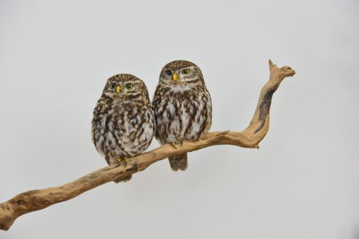 taxidermy Little Owls (Athene noctua) sitting together 2