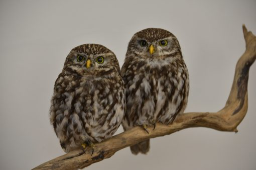taxidermy Little Owls (Athene noctua) sitting together