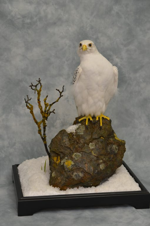 Taxidermy white Gyrfalcon in snow 6
