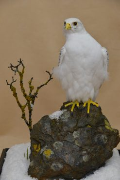 Taxidermy white Gyrfalcon in snow 2