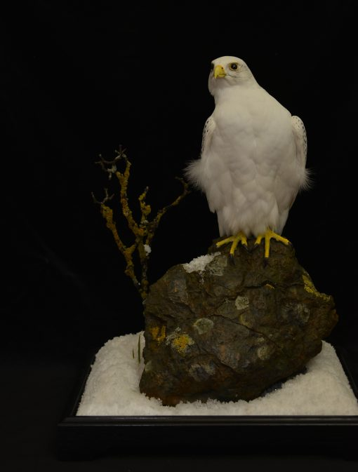 Taxidermy white Gyrfalcon in snow