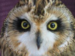 Short Eared Owl Head | Bird Taxidermy | Asio flammeus | by Mike Gadd