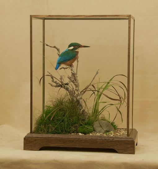 Kingfisher Bird Taxidermy cased