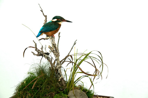 Kingfisher Bird Taxidermy glass case removed