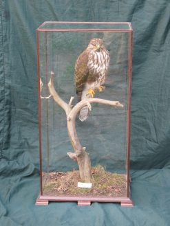 Taxidermy Common Buzzard - Buteo buteo 8876