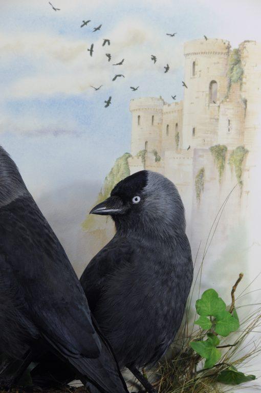 Bird taxidermy jackdaw Corvus monedula closeup