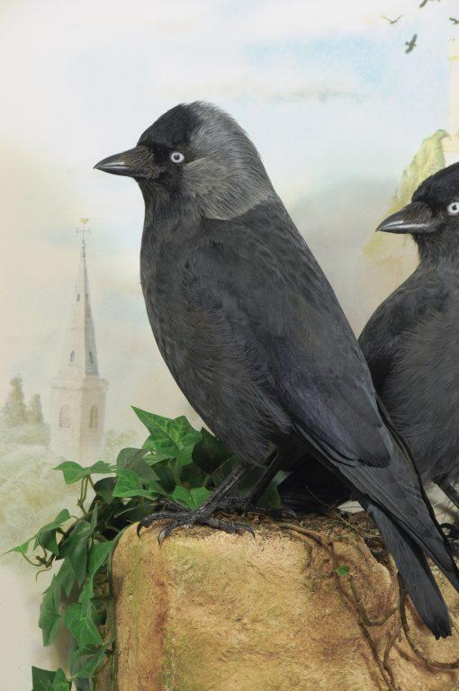 Bird taxidermy jackdaw Corvus monedula mike gadd