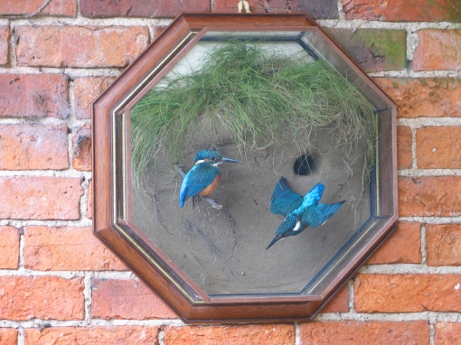 Kingfisher nest site one flying Taxidermy