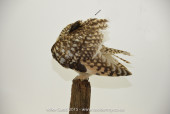 short-eared-owl (2 of 4)