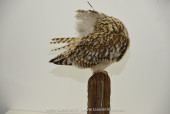 short-eared-owl (4 of 4)