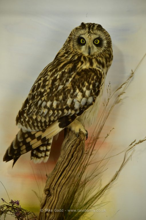 Bird Taxidermy Short Eared Owl (Asio flammeus) in Case 9047 close up