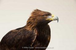 Golden Eagle 9339