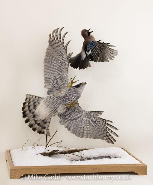 Flying Goshawk chasing Jay Taxidermy mount By Mike Gadd