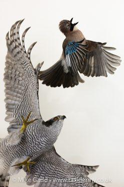 Goshawk Taxidermy chasing Jay