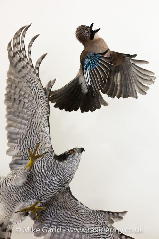 Goshawk Bird Taxidermy mount Chasing Jay