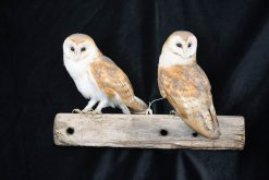 Barn Owls on Oak Beam