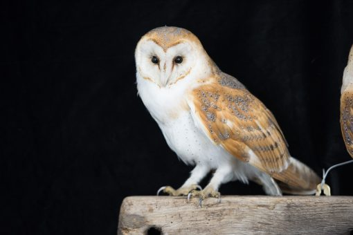 Barn Owls on Oak Beam