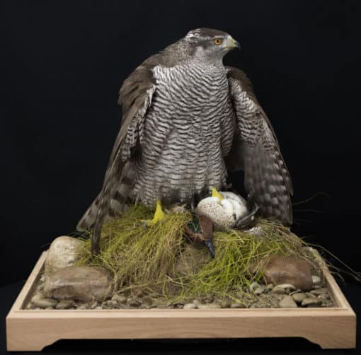 Goshawk Taxidermy Mantling