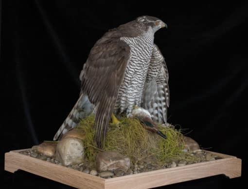 Goshawk Taxidermy Mantling left