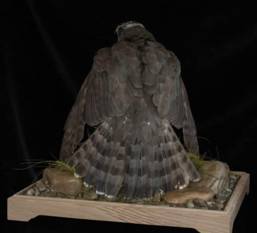 Goshawk Taxidermy Mantling back
