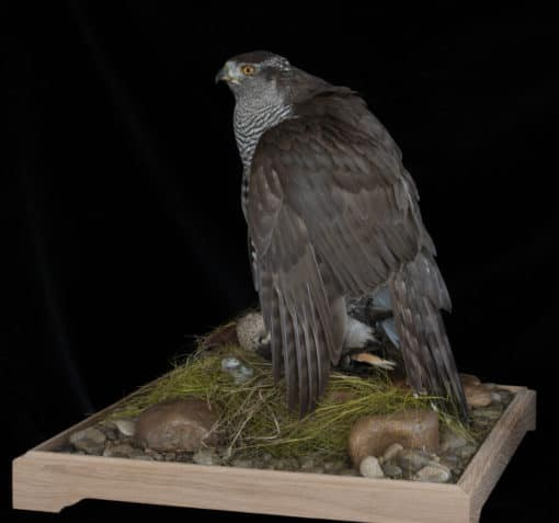 Goshawk Taxidermy Mantling side