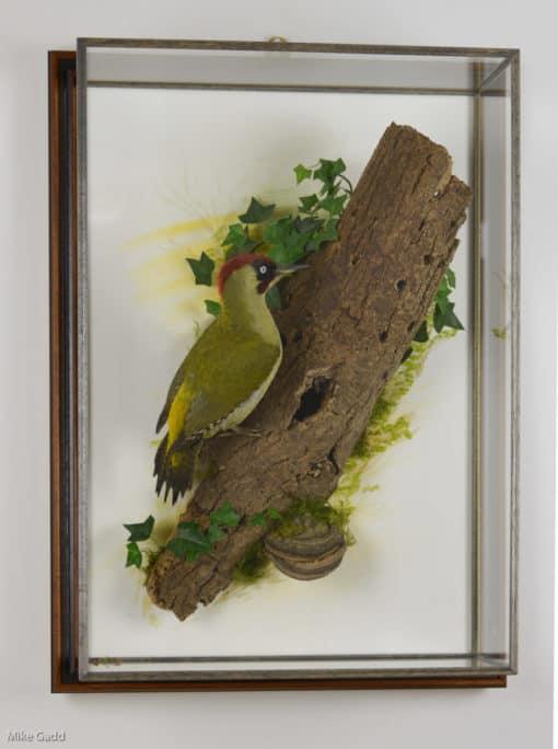 Green Woodpecker Taxidermy