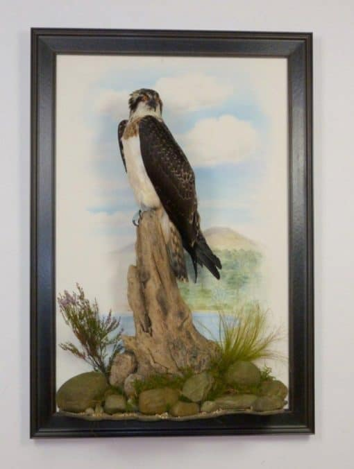 taxidermy osprey in glass case