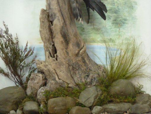 taxidermy osprey groundwork