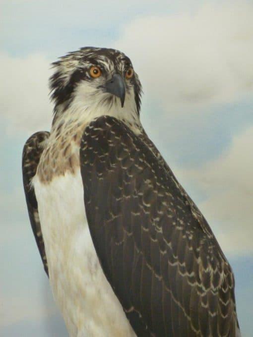 taxidermy osprey - close up
