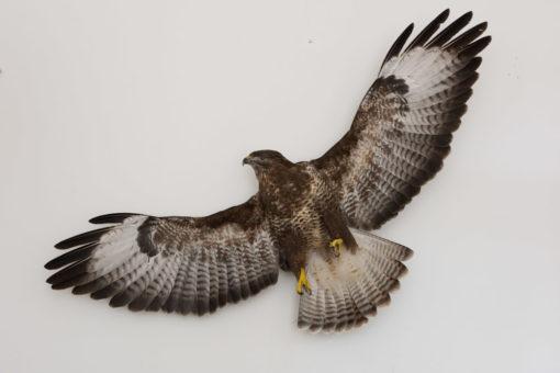 Taxidermy Flying Buzzard