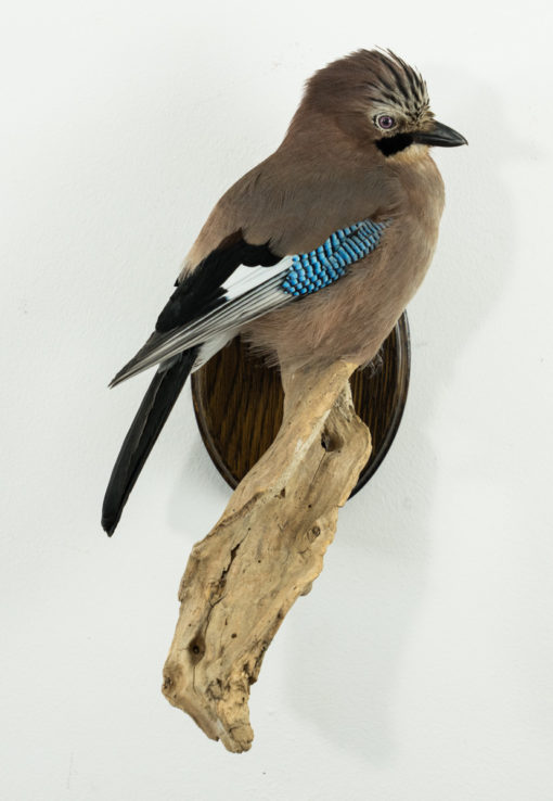 Taxidermy Jay