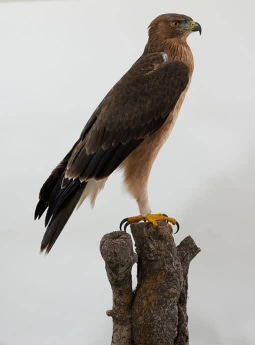 Bonnellis Eagle