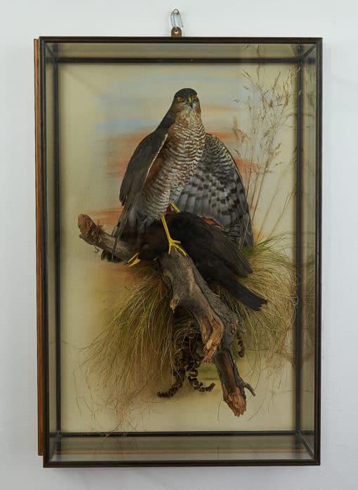 male Sparrowhawk in case
