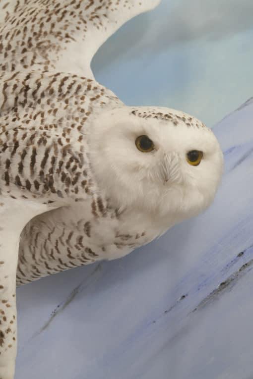 Snowy owl flying 8544