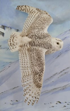 Snowy owl flying 8544