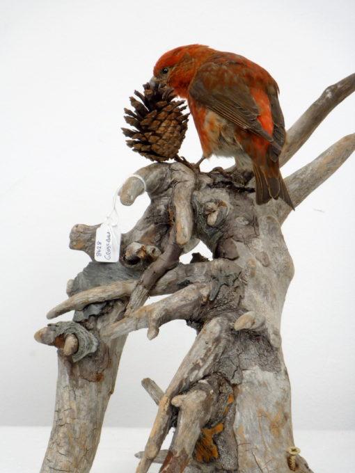 Crossbill bird Mount