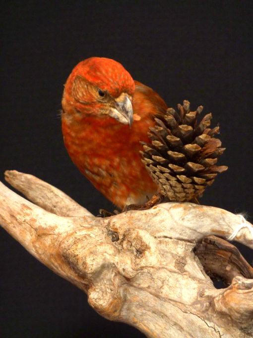 Crossbill bird taxidermy