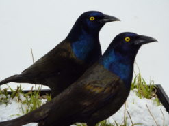 Taxidermy Grackles close up